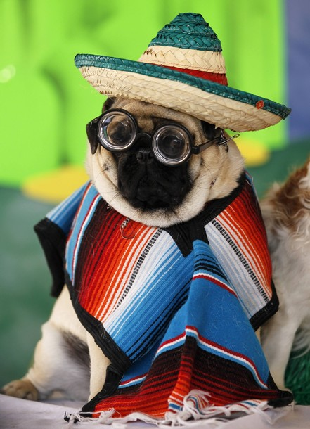 A pug dog is dressed in a poncho, mexican sombrero and spectacles as he poses to have his picture taken at the Pug Rescue of San Diego County's 20th annual Pug Party in Del Mar